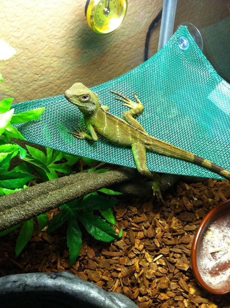 Chinese water dragon thoroughly enjoying his little hammock, getting some sun and just chilling XD What a little cutie
