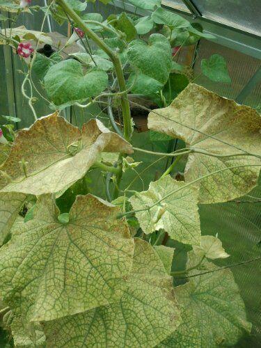 Spinnmilben an der Gewächshausgurke - Blätter gelb und vertrocknet — Parzelle94.de