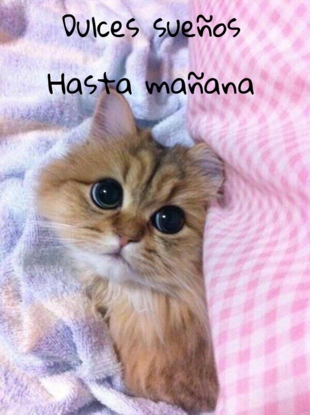 Pin de Idaris Colon en Buenas Noches | Gatos bonitos, Gatos ...
