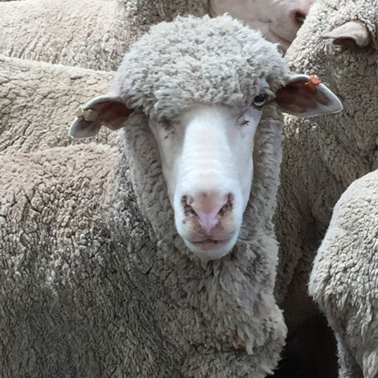 Sheep in Melbourne - producing fine merino wool for Wangaratta Wool Mill