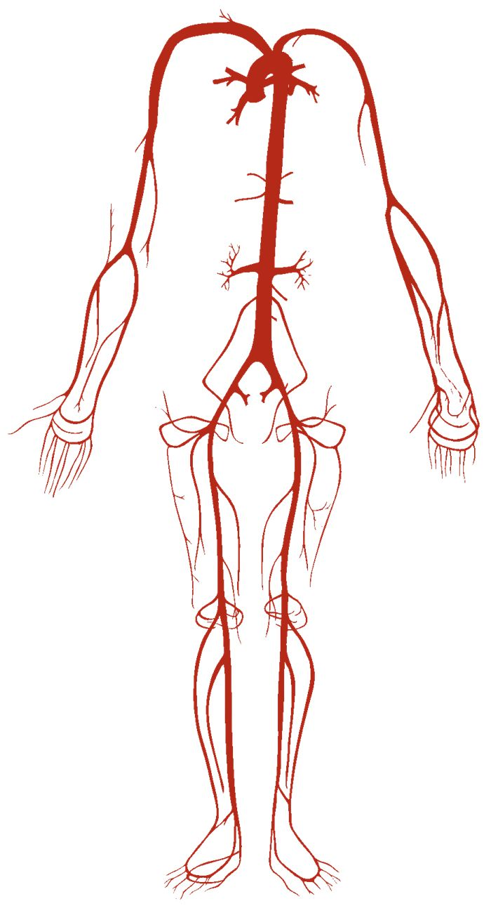 Human Diagram For Kids   Human Diagram For Kids Arterial System Arteries Human Body Pictures
