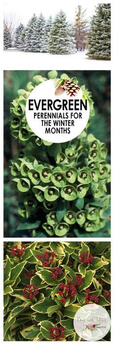 Evergreen Perennials for the Winter Months| Evergreens, Evergreen Perennials, Perennial Evergreens, Gardening, Winter Gardening, Winter Gardening Tips and Tricks, Evergreen Gardening, Popular Pin #WinterGardening #Perennials #EvergreenPerennials #Gardening