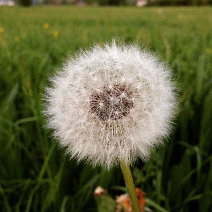 """Il fiore del tarassaco  Quanto divertimento da piccolino nel soffiare e vedere questi """"piumini"""" librarsi nell'aria..."""