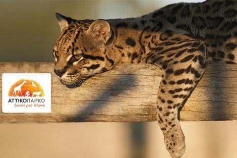 """Μετρώντας ήδη μια δεκαετία ζωής, το Αττικό Ζωολογικό Πάρκο προσφέρει στους επισκέπτες του ένα μοναδικό ταξίδι στις 5 ηπείρους, μέσα από τη ζωή 2.000 ζώων από 400 διαφορετικά είδη, αλλά και το συγκλονιστικό θέαμα με τις εντυπωσιακές """"φιγούρες"""" των δελφινιών.  Μη χάσετε την ευκαιρία να το επισκεφθείτε με 50% έκπτωση!"""