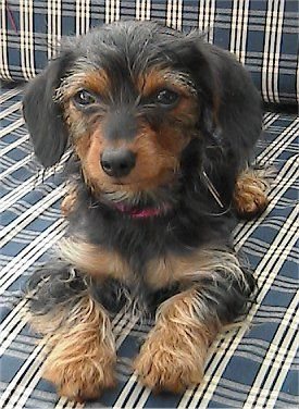 21 Best Images About Yorkie Dachshund Mix Aka Dorkie On