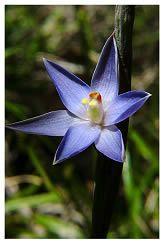 new zealand native plants - Sun Orchid - māikaika