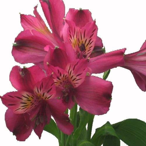Image Result For Alstroemeria Napoli