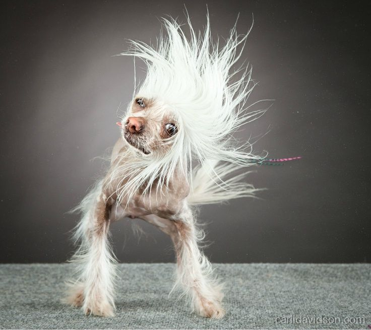 Image result for photos of animals shaking | Dog shaking, Hairless dog,  Animals