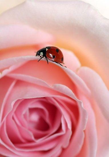 Ladybug on pink rose