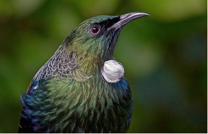 Tui bird : Aotearoa