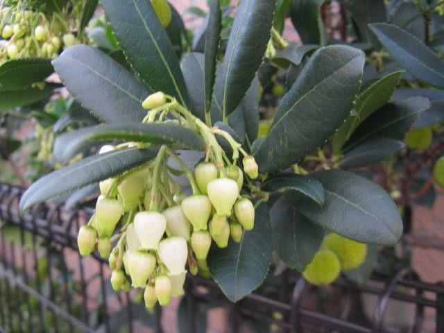 11月26日の誕生日の木は、「ヒメイチゴノキ(姫苺の木)」です。 ツツジ科アルブツス属の常緑中低木です。原産地は、ヨーロッパ南東部。分布は、地中海・西ヨーロッパ北部・西フランス・アイルランドです。常緑樹ですが、耐寒性が有るので寒い地域でも生育でき、また夏の高温多湿にも強い性質を持っています。日本には、園芸品種として最近店頭に並ぶようになりました。 ヒメイチゴノキの英名は「ストロベリーツリー(strawberry tree)」。英名の由来は、赤く熟した果実の表面がイボイボになっていて、その様子がイチゴを連想させるところからです。和名は英名を訳し、その際に果実の小ささを表現して「姫(ヒメ)」が付いたようです。 学名は、「Arbutus unedo(アルブツス・ウネド)」。学名のままでも流通しています。「Arbutus」はラテン語で「イチゴ」を意味するとされ、「unedo」は「一回食べる」の意味だそうです。単に「イチゴノキ」と呼ばれることもあります。