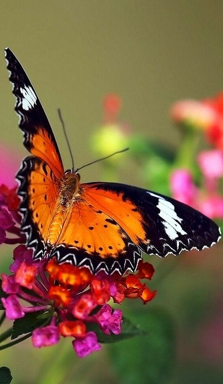 Malay Lacewing Butterfly on Lantana