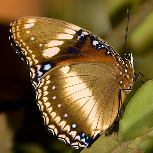 ✼∿Cappi~beautiful golden butterfly