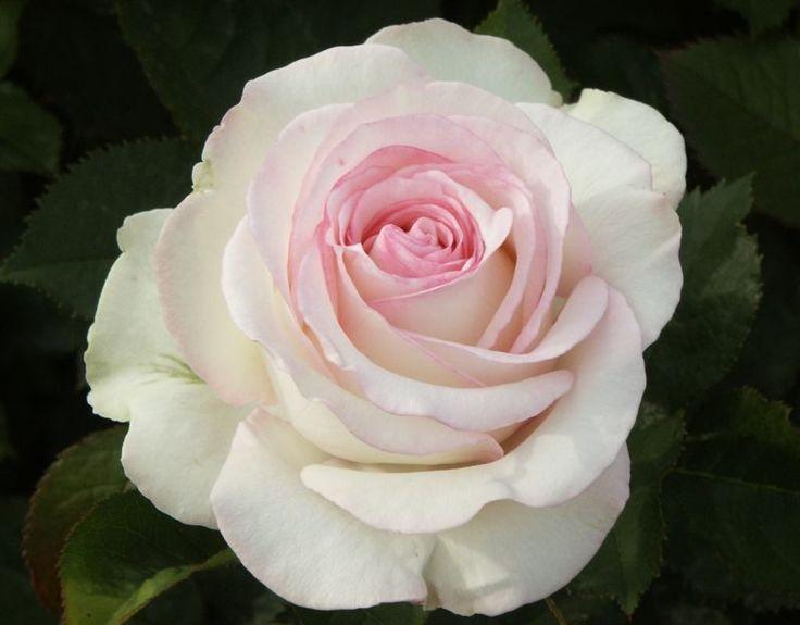 Moonstone (Palatine Roses)