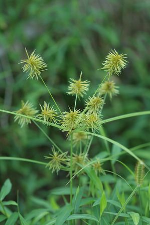 Cyperus esculentus or Nut Sedge – More About Nut Sedge | Often mistaken as a grass, the Nutsedge has light green to yellow shiny leaves which ari...