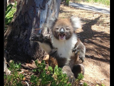 this crying koala is the cutest thing youll see today