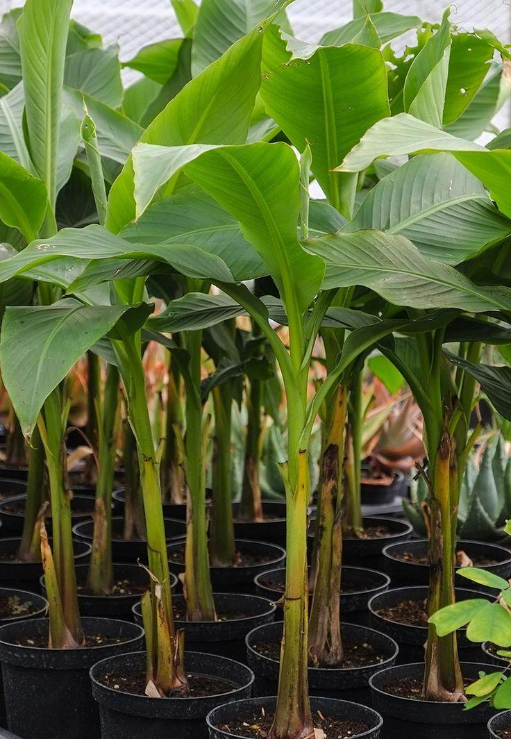 Large Plant Pots Trees