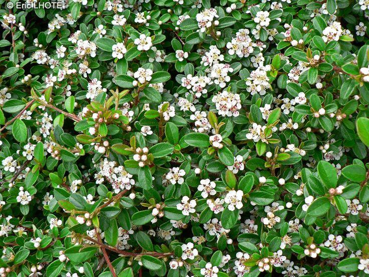 Cotoneaster dammeri persistant floraison blanc cr me en mai juin taille en reprise de - Taille des rosiers apres floraison ...