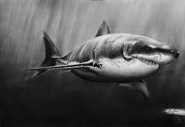 Image result for drawings of sharks