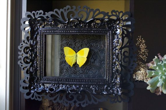 Tailed Sulphur Butterfly - Museum Glass Shadow Frame Display - Insect Bug Oddity Curiosity Art