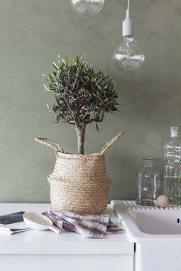 Tykkelensen på stammen sier noe om kvaliteten på oliventreet.