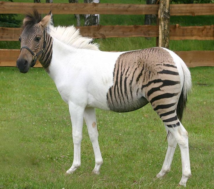 Zebroid...These gorgeous and gregarious beasts are always the result of matings involving a zebra and any other type of horse, and are, of course, in essence zebra hybrids. Normally a zebra stallion is the sire, and while matings between donkey sires and zebra mares do happen, the resulting zebra hinnies are quite rare. . Zebroids, however, have been successfully bred for almost 200 years,since the 19th century, and can be very unusual in coloring, though most are fairly similar