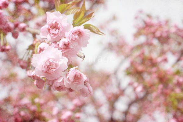 SAKURA Saku ano michi wo  Bokura wa aruiteiru  SAKURA Sakimau yume Koishikute  fuwafuwa furafura Samayotte  Tamashii ga karehateru made Owaranai  Azayaka na FLOWER #flowers #sakura #cherryblossoms #spring #capturespring