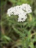 Common Yarrow [Achillea millefolium] - Evergreen forb, 1-3 feet. Sun or Part Shade. Drought tolerant.  A common plant for gardens and native landscapes, especially where drought tolerance is desired.  Works well in butterfly gardens, and is a good companion plant, as it repels some pests while attracting beneficial insects.  It is also thought to improve soil quality and the health of nearby sick plants, and help stop erosion.  Considered to have medicinal qualities.