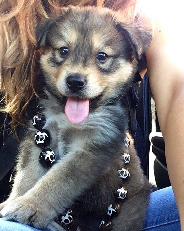 Aloha Puppy Dog Goldenhusky Husky Hawaii Cute Happy Dogs