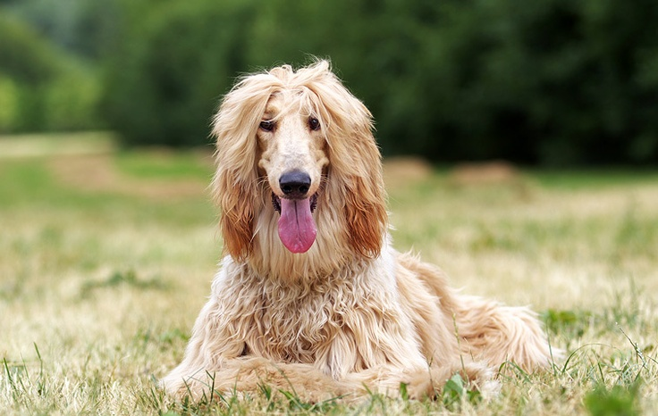 Sims 3 Afghan Hound 68 best images ...