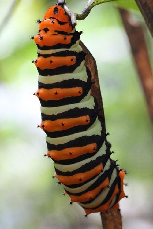 Rothschild Silk Moth Caterpillar
