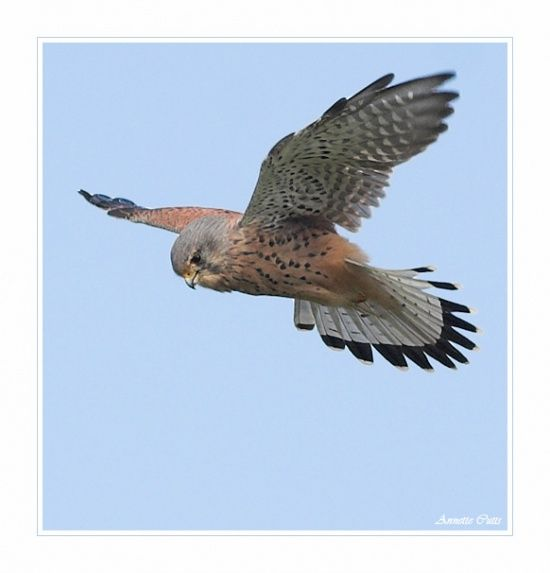 The Common Kestrel (male) is a bird of prey species belonging to the kestrel…