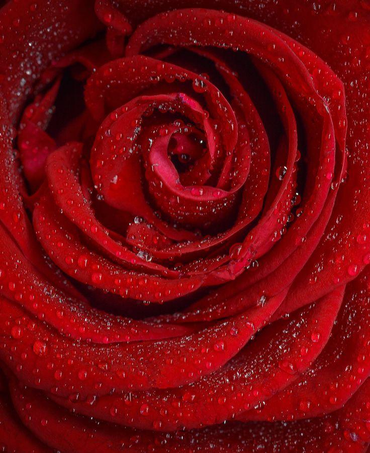 """""""Eine Rose für Dich"""", Lyrik, Gedicht, Poesie, Auszug aus dem Gedichtband """"Taubenschlag in meinem Herzen"""". https://tina-wessig.blogspot.co.at/2017/03/eine-rose-fur-dich.html"""