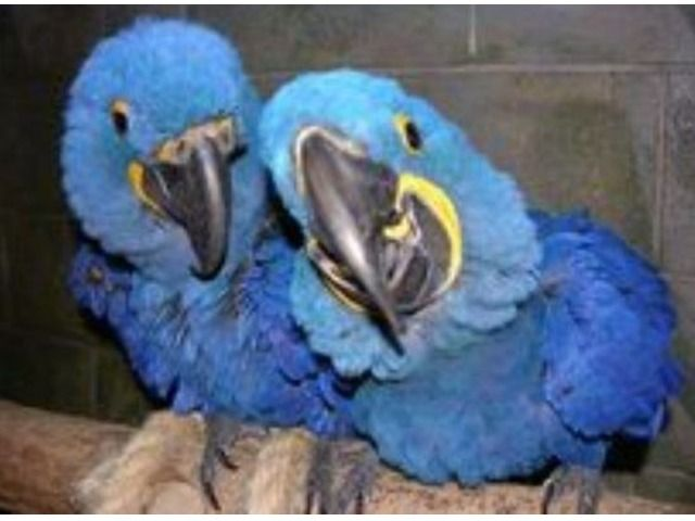 Talking Hyacinth Macaw Parrots for Sale