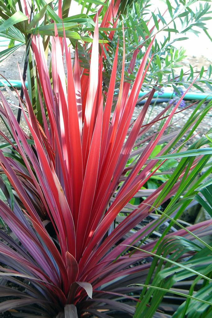 You don't need flowers to add colour & texture to your garden - gorgeous red foliage: cordyline