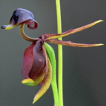 Inspiring The  Best Ideas About Flying Duck Orchid On Pinterest  Monkey  With Outstanding Pcs Flying Duck Orchid Seed Beautiful Flower Bonsai Home Office Potted  Plants With Cool Watch The Garden Of Words Also Mgm Garden Arena In Addition Radway Bridge Garden Centre And Decorative Garden Fence Panels As Well As The Treehouse Alnwick Garden Additionally Metal Garden Arches With Gates From Ukpinterestcom With   Outstanding The  Best Ideas About Flying Duck Orchid On Pinterest  Monkey  With Cool Pcs Flying Duck Orchid Seed Beautiful Flower Bonsai Home Office Potted  Plants And Inspiring Watch The Garden Of Words Also Mgm Garden Arena In Addition Radway Bridge Garden Centre From Ukpinterestcom