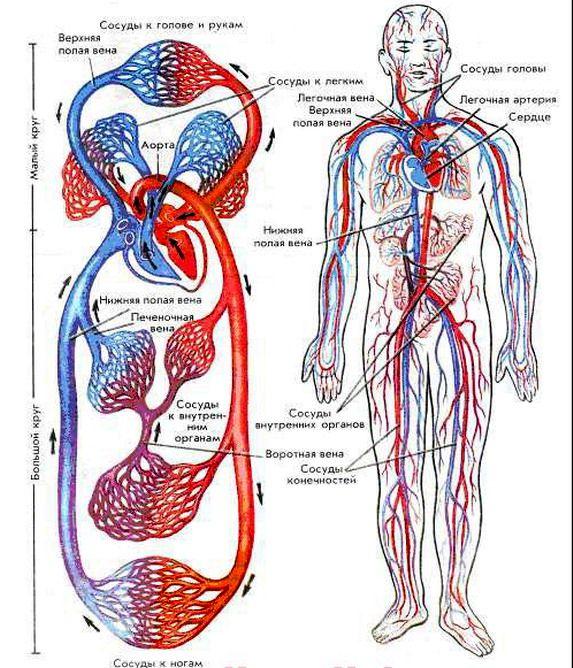 Картинки по запросу кровеносная система нижних конечностей человека