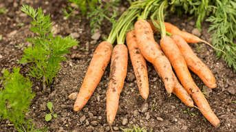 Obľúbená karotka: Čo všetko vplýva na to, aby bola mrkva sladučká?