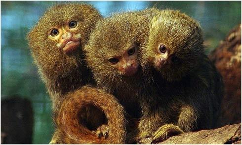 """El tití pigmeo también conocido como hópalo enano, chichico, pielroja o """"mono de bolsillo"""" es una especie omnívora, se alimentan de savia, frutos, arañas e insectos."""