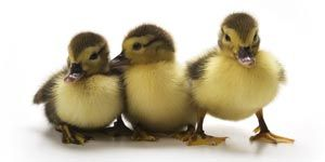 How To Raise a Pet Duck  Everything you need to know about duck care