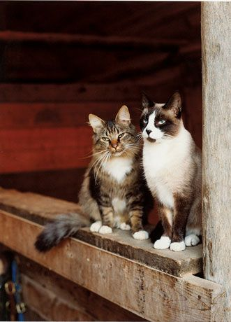 61 Best Barn Cats Images On Pinterest Kitty Cats