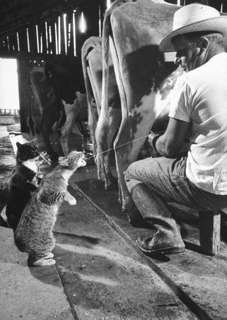 """Farm Cats.  Freshly squeezed. HF: I did that some thing as a young man;  the cats loved it, even when I missed. That was in the '50's, not long before the milking machines came out, before young men and some girls """"forgot"""" how to milk cows (  :O  ) Liked this one eh?"""