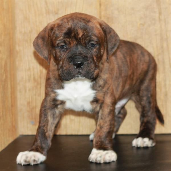Mum Is A Kc Registered Dogue De Bordeaux This Breeding Was Done To Create Tools In Creating In 2020 American Bulldog Puppies French Bull Mastiff Bull Mastiff Puppies