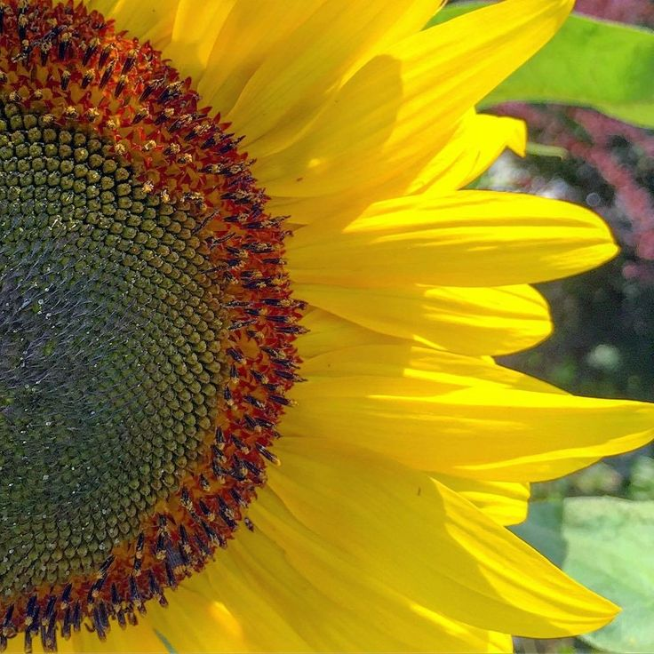 Pin by Jessica F. Miller on Sunflowers Beautiful images