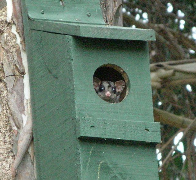 Sugar Glider in Nesting Box, Australia - Laurie Macmillan