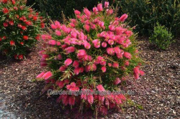 How to prune australian native plants2