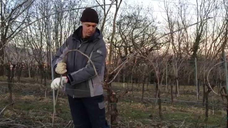 Potatura - Pruning in Cornuda's vineyard [English subtitles]
