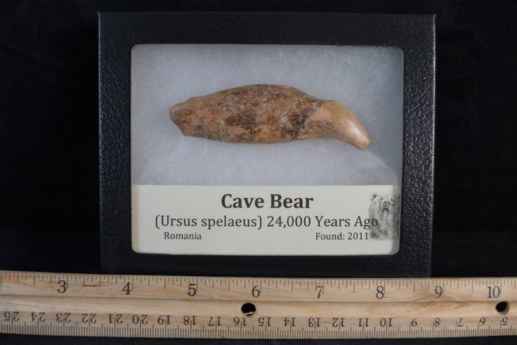 Cave Bear Canine Ursus Spelaeus tooth. This is an enormous canine from this large prehistoric bear. This tooth is gigantic.
