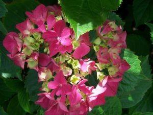 Gambar Bunga Hortensia Warna Merah Cerah