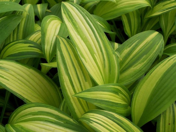 Hosta 'First Love' - large